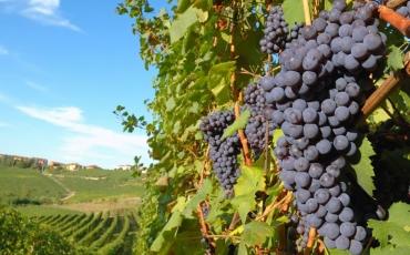 Vinograd utemeljen na odbačenom kamenu